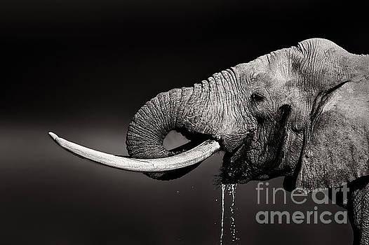 Elephant bull drinking water - duetone by Johan Swanepoel