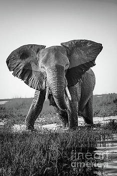 Tim Hester - Elephant Charging Black And White