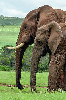 Elephant couple profile by Gaelyn Olmsted