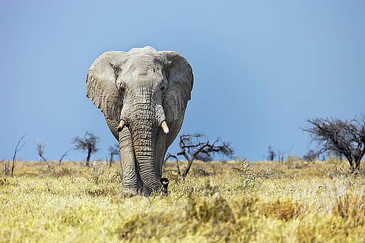Elephant in Etosha National Park  Namibia by Martin Wackenhut
