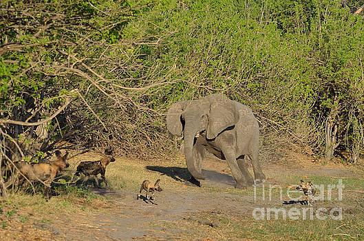Elephant Intimidating Wild Dogs Tom Wurl by Tom Wurl