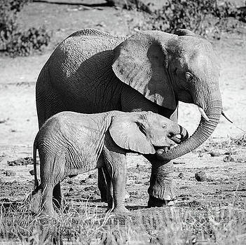 Tim Hester - Elephant Parent With Calf Black And White