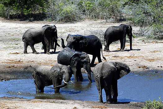 Elephant Pool by Charles  Ridgway