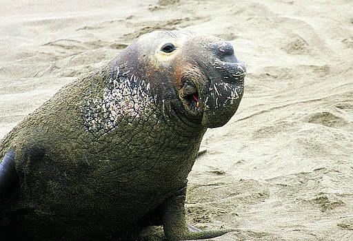 Elephant Seal by Anthony Jones