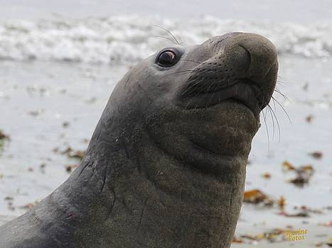 Gary Canant - Elephant seal sniffing for lunch