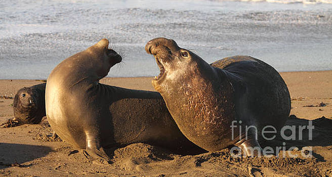 Elephant Seals Mating by Max Allen