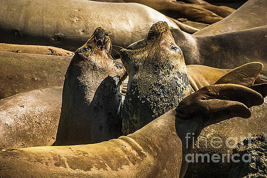 Elephant Seals Molting by Blake Webster