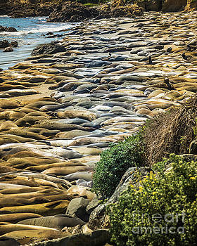 Elephant Seals Pierdras Blancas by Blake Webster