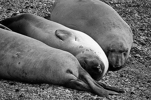 Elephant Seals V BW by David Gordon