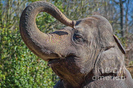 Elephant With Curled Trunk by Kimberly Blom-Roemer