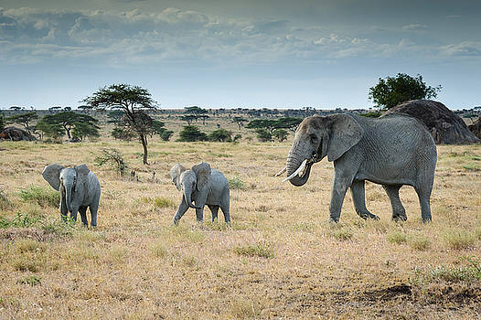 Elephant Young by Scott Presnell