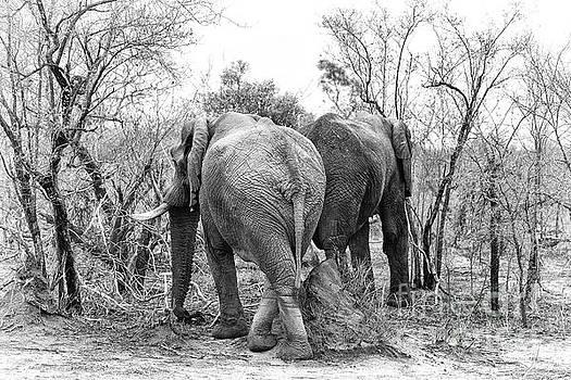 Elephants black and white by Jane Rix