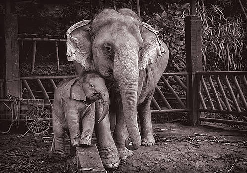 Elephants BuaThong and Am by Lee Craker