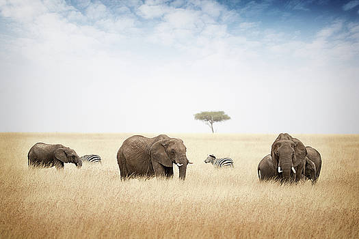 Susan Schmitz - Elephants Grazing in Kenya Africa