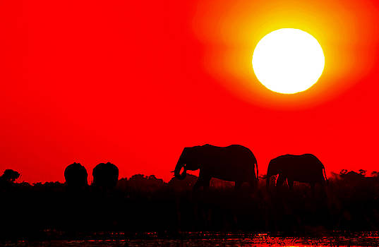 Elephants in the sunset at Chobe river, Botswana by Wibke W