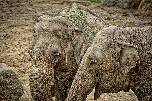 Elephants by Ingrid Dendievel