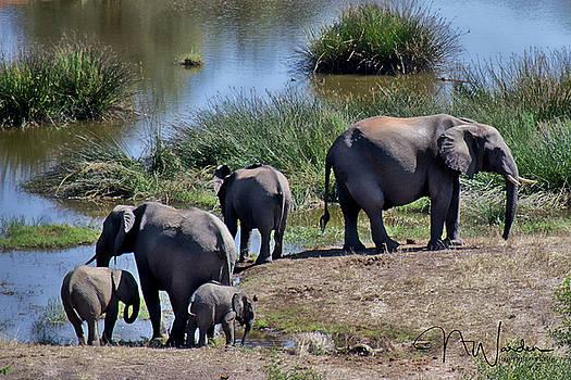 Elephants Morning Stroll II by Norma Warden