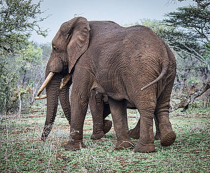 Elephants Side By Side by George Salter