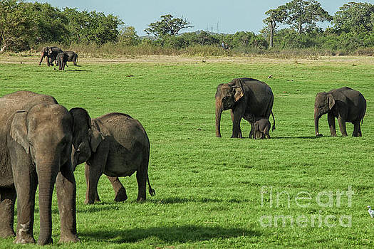 Elephants with young by Patricia Hofmeester