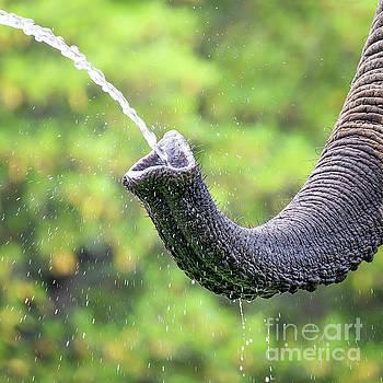 Elephant taking a drink by Jane Rix