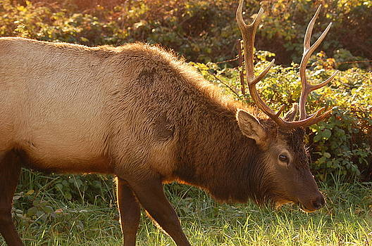 Elk   by Rose Jones