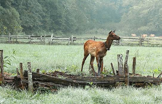 Carol Montoya - Elk Calf in the Mist in the Great Smoky Mountains National Park