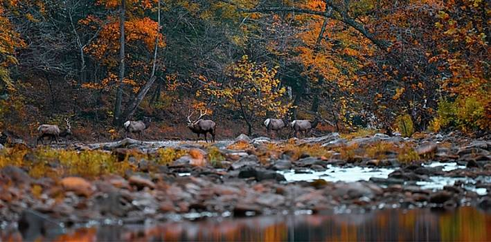 Elk Crossing by Garett Gabriel