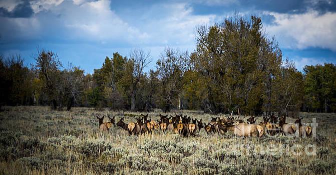 Elk Family by Sandy Molinaro