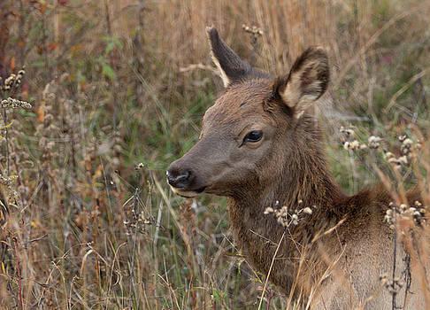 Elk fawn by Jack Nevitt
