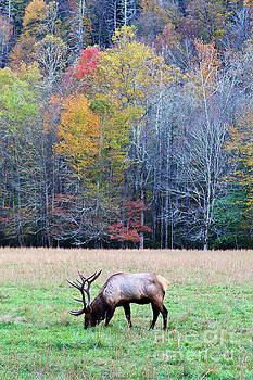 Jill Lang - Elk Grazing in a Field