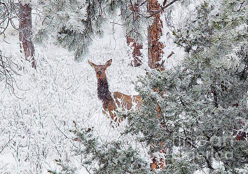 Steve Krull - Elk in Heavy Snow in the Colorado Rockies