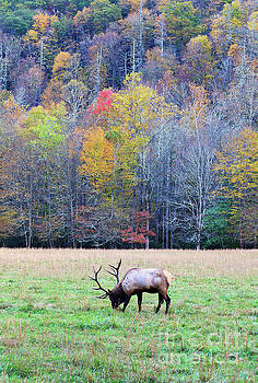 Jill Lang - Elk in the Field at Cataloochee