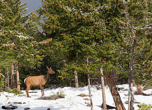 Elk in the Morning Sun by Natural Focal Point Photography