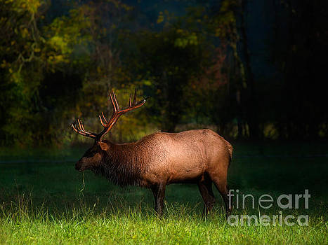 Elk in the Smokies. by Itai Minovitz