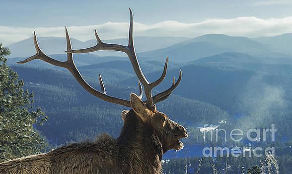 Elk Overlooking Evergreen by Beth Riser