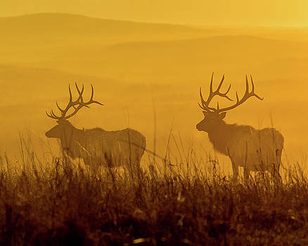 Elk Silhouette by Jay Stockhaus