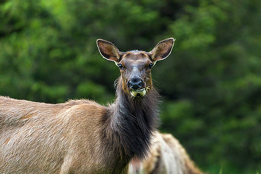 Elk Staring Closeup Portrait by David Gn