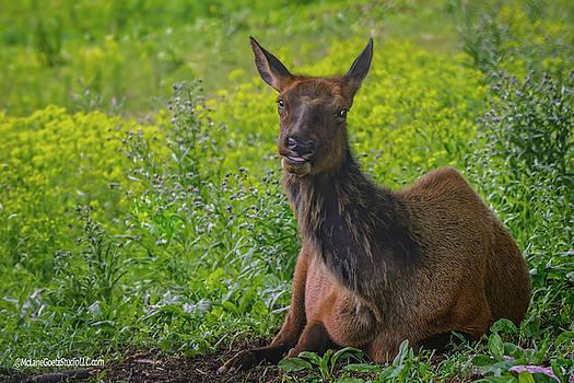 Elk Wapiti  by LeeAnn McLaneGoetz McLaneGoetzStudioLLCcom