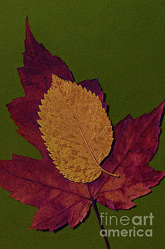 Elm on maple by Jim Wright
