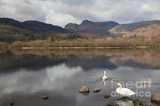 Elter Water swans by Gavin Dronfield