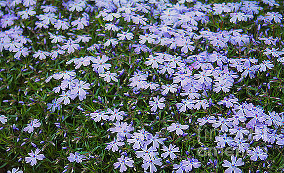 Emerald Blue Creeping Phlox by Dan De Ment