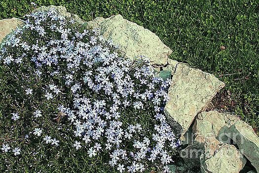 Emerald Blue Phlox in a Corner by Dan De Ment