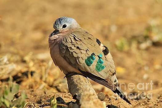 Emerald Spotted Dove - Puff of Green by Hermanus A Alberts