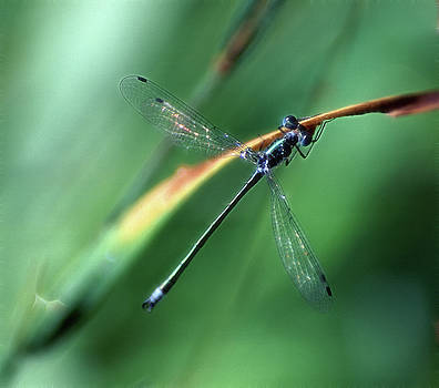 Emerald Spreadwing by Bill Morgenstern