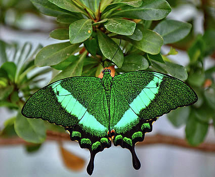 Emerald Swallowtail Butterfly by Ronda Ryan