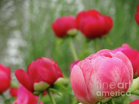 Emerging Peony Buds by Rebecca Overton