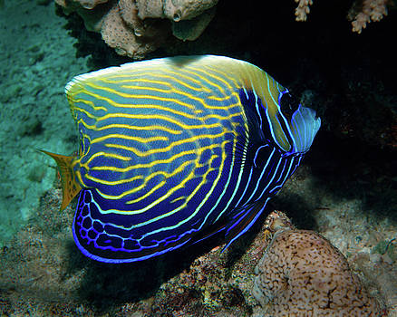 Emperor Angelfish, Red Sea by Pauline Jacobson