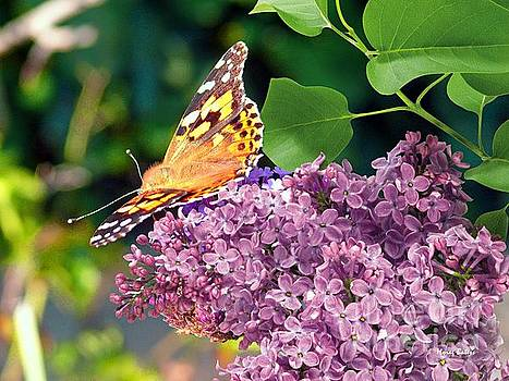 Emperor Butterfly on Lilac Blossom by Morag Bates