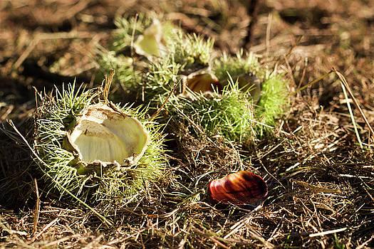 Empty chestnut by Helga Novelli