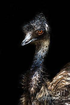 Australian Emu by Barbara Dudzinska